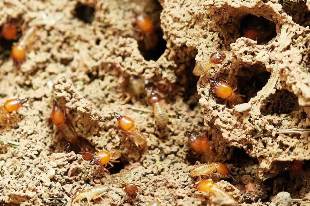 veneno para termitas aladas, veneno para termitas subterráneas, veneno para termitas en árboles, veneno para termitas Bayer, como aplicar veneno para termitas, veneno para acabar con las termitas, un buen veneno para termitas